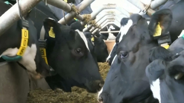 Коровы получили 5G раньше людей